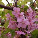 桜満開は雨でした。