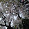 桜 撮影 雨の中